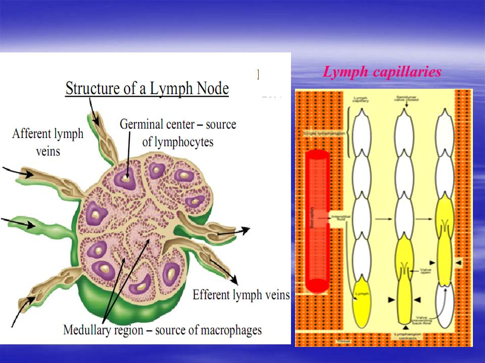 Ppt Lymphatic Transport Of Drugs Pharmawiki